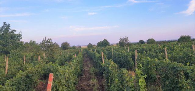 Regiune viticolă