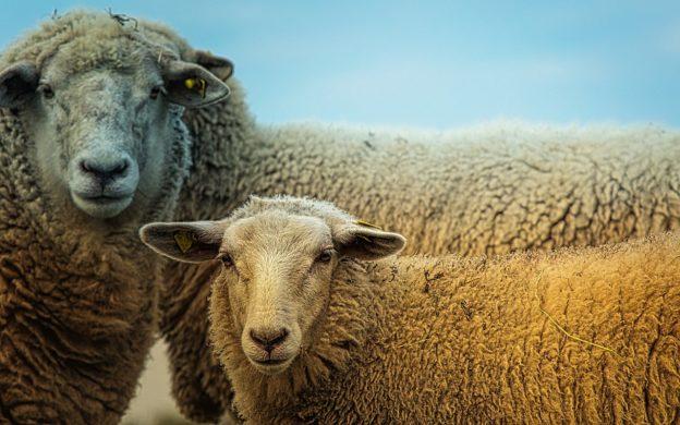 Crește ajutorul de minimis acordat crescătorilor de ovine pentru comercializarea lânii